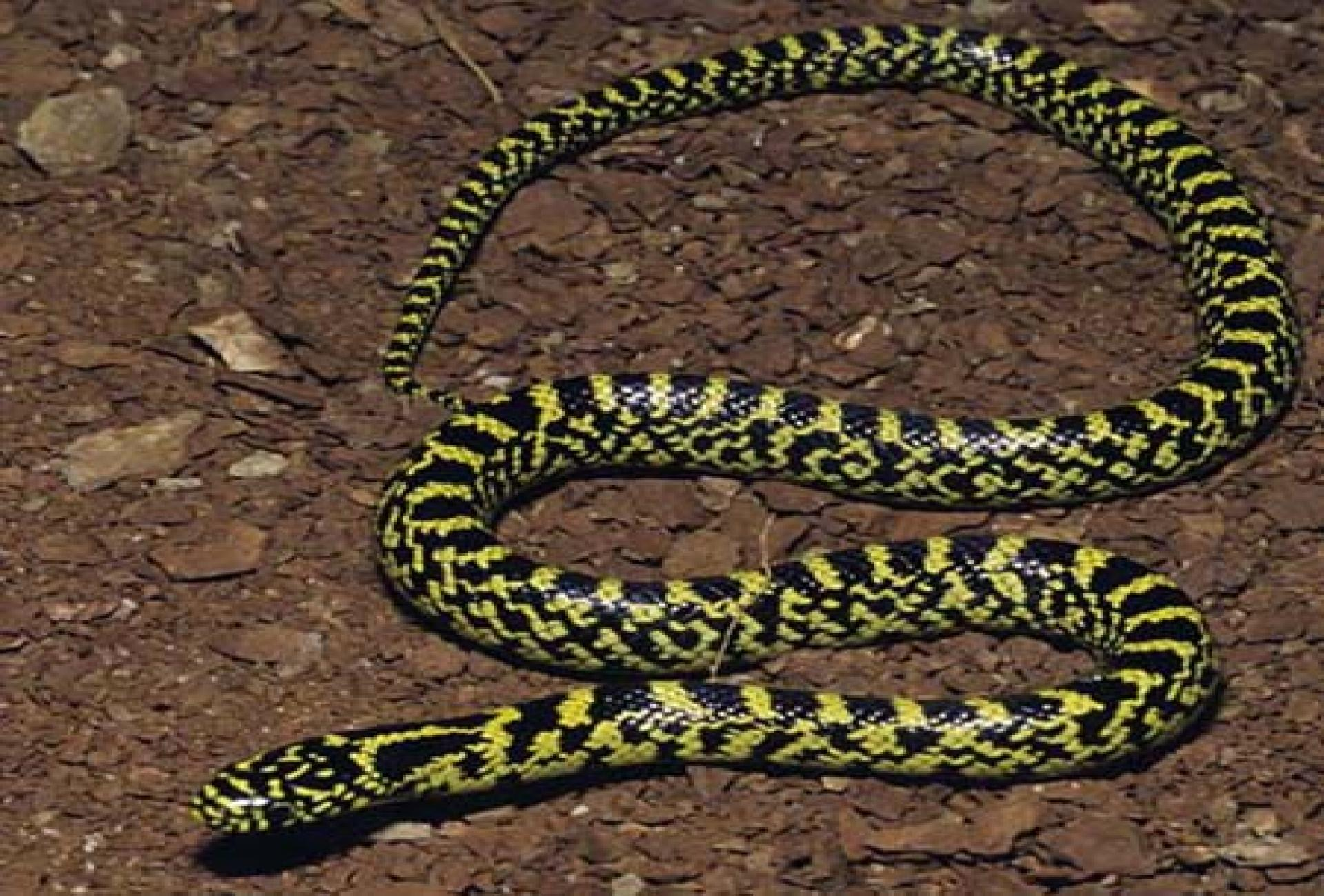 speckled king snake young